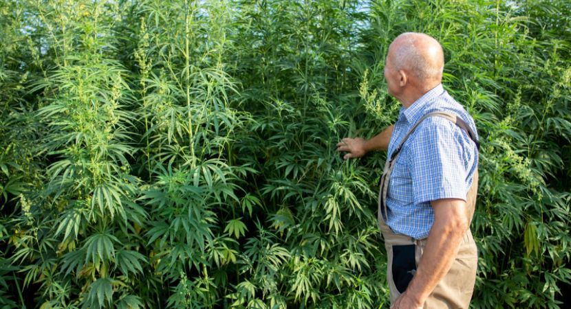 hemp cannabis sativa plant